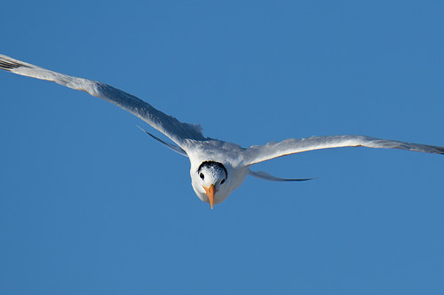 Cape May: Royal Tern Coming For You!