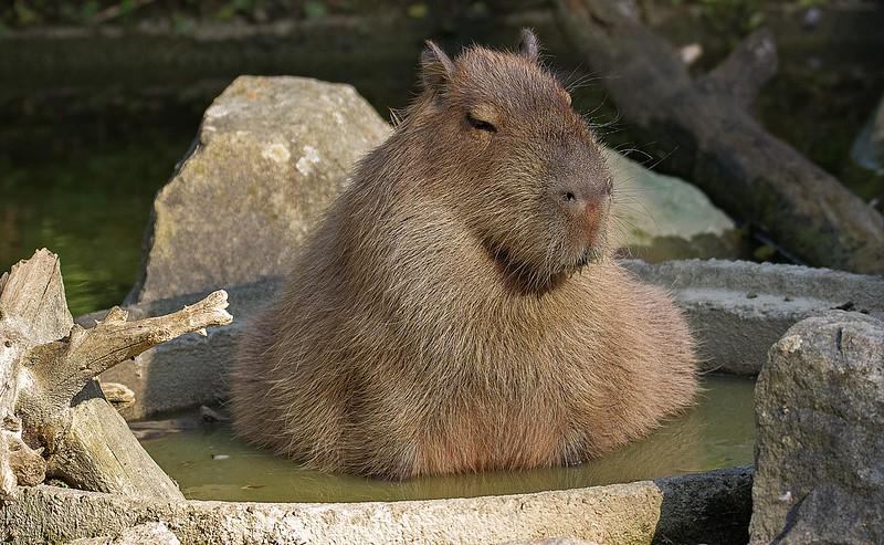 Wasserschwein im eigenen Pool im Wasser
