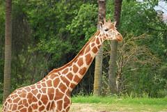 Giraffa camelopardalis reticulata DT [ES Zoo Madrid] (2)