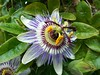 Passion Flower - Passiflora by SAMARA: Back home now!