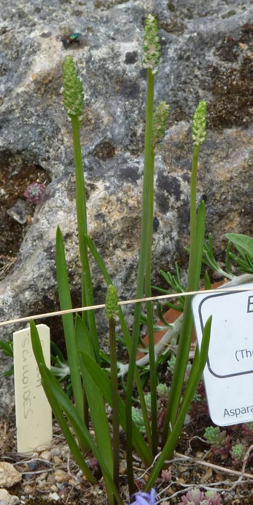 Barnardia japonica 21849920509_7effaa44b8_o