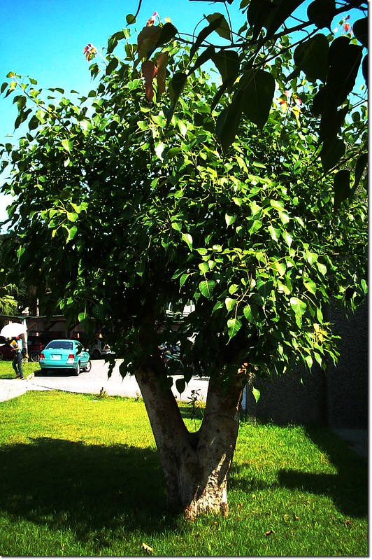 菩提樹,圖片來源(宜蘭縣羅東國小校園植物學習網)