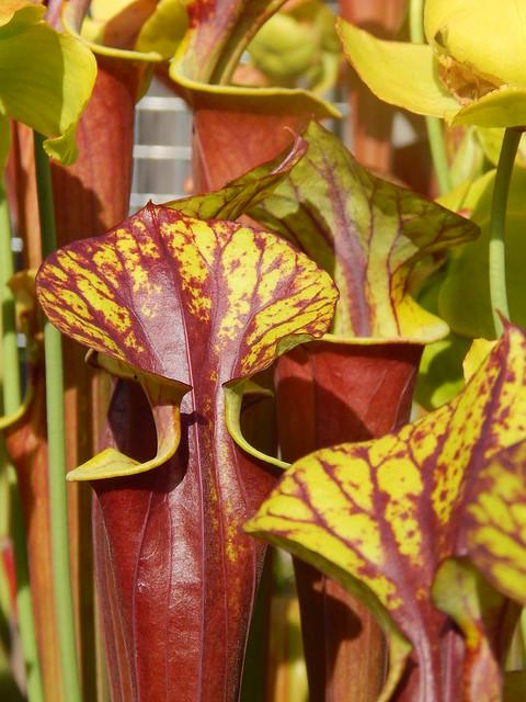 Sarracenia flava var. rubricorpora 'FRT 1'