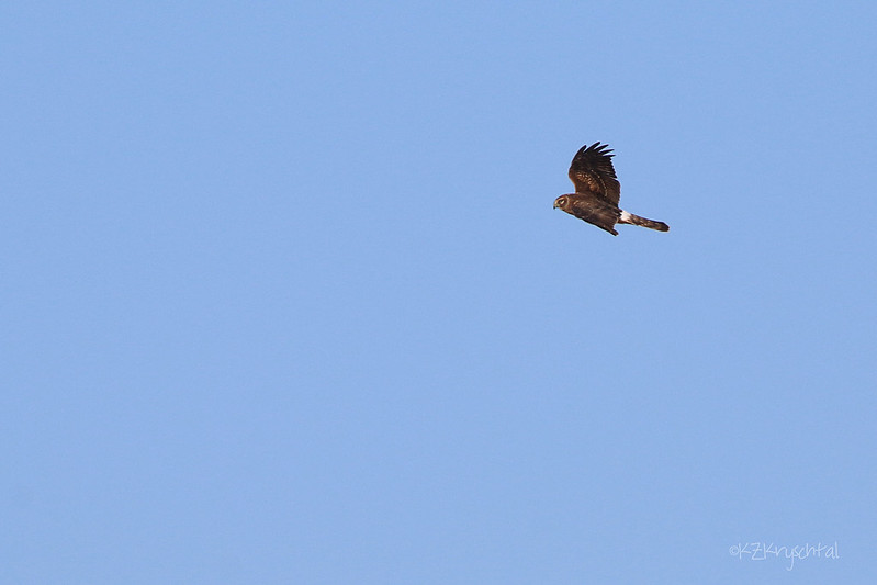 IMG_6322NorthernHarrier