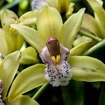 Cymbidium sonatine edgar (orchidaceae)