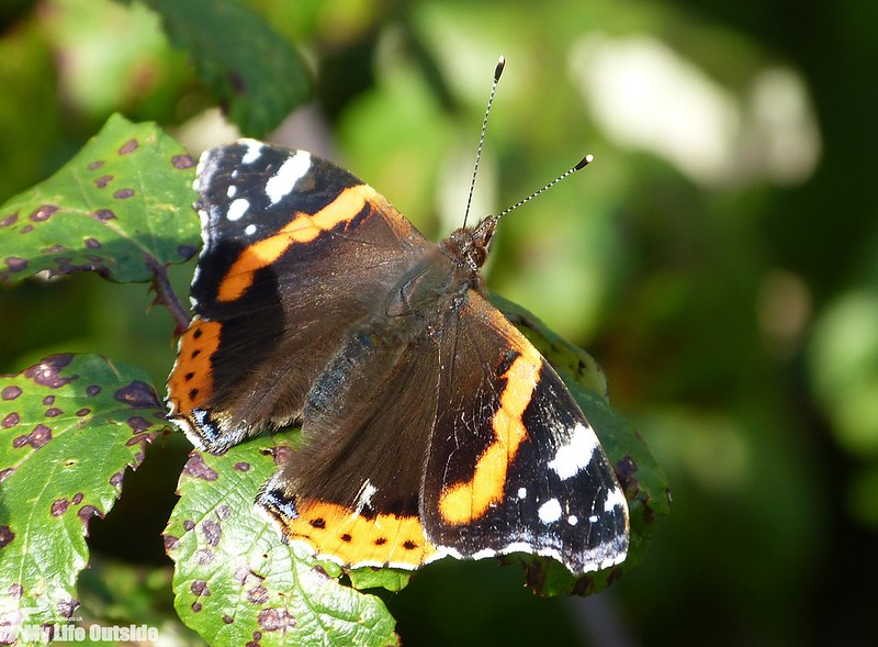 P1160146 - Red Admiral, Llanelli WWT
