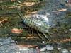 Freshwater isopod