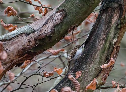 Treecreeper 025 (239)