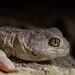 Barking Gecko, Nossob, Kgalagadi