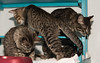 Kittens of Colony Room A (2)