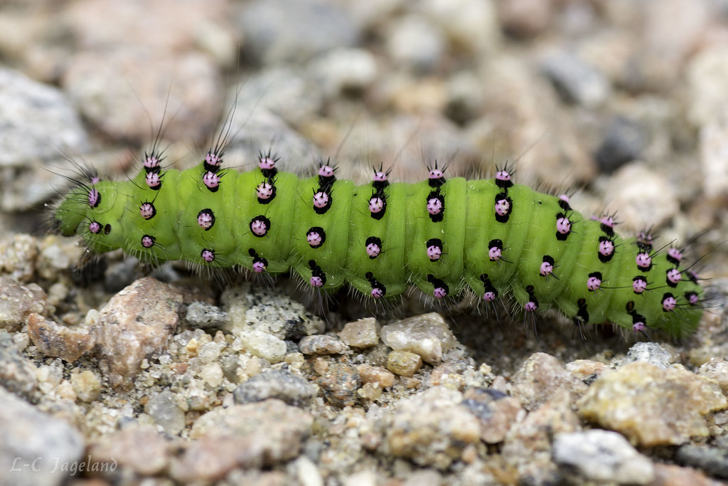 Saturnia pavonia (Mindre påfågelspinnare)