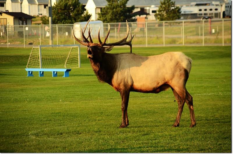 Elk, Lake Estes 3