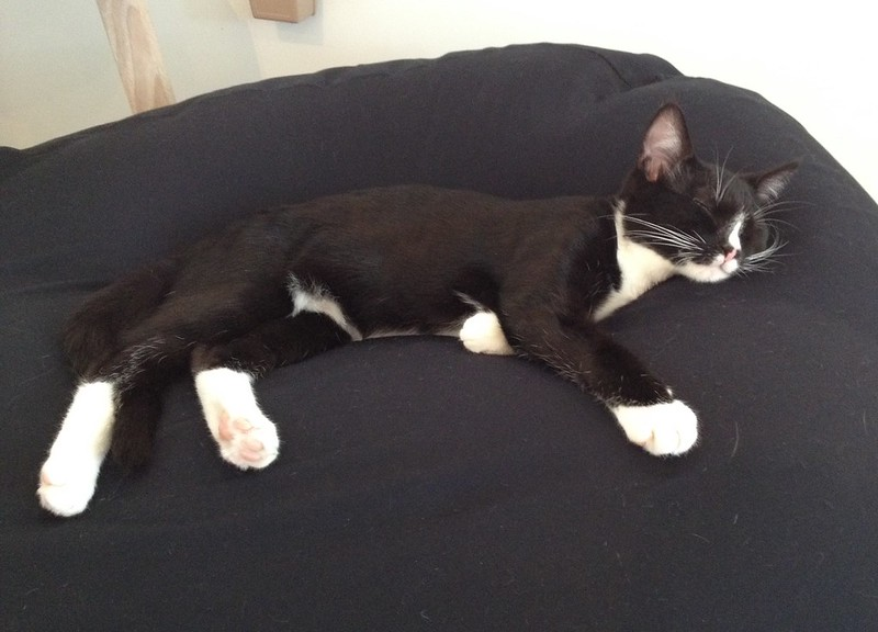 Sleeping Tuxedo Kitten