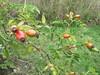 246:365, 2015, Reddening berries IMG_6207 by tomylees