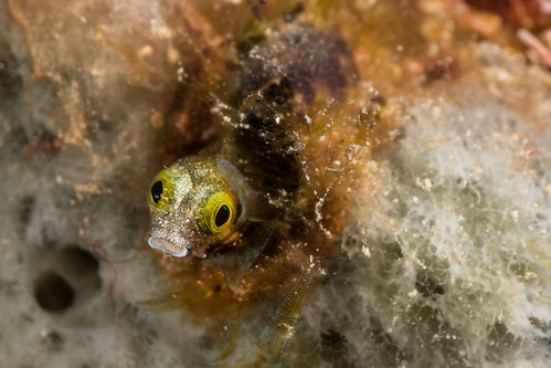 The Secretary Blenny