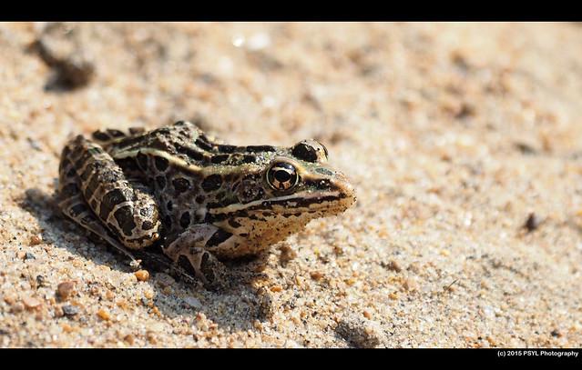 Northern leopard frog (Lithobates  pipiens)