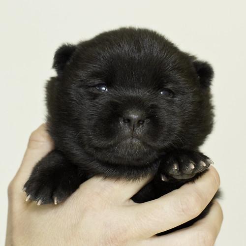 Nori-Litter3-Day17-Pup2(female)a