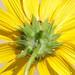 Prairie Sunflower, Helianthus petiolaris by Dave Beaudette