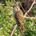 Horsefield's Bronze Cuckoo (Chalcites (Chysecoccyx) basilis).01 by geoff.whalan