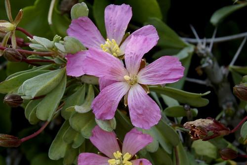 Monsonia patersonii