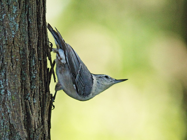 White-breasted Nuthatch 5-20150926