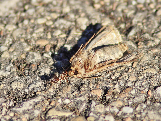 Ant dragging moth 20150926