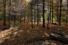 Riverdale Park Pine Grove