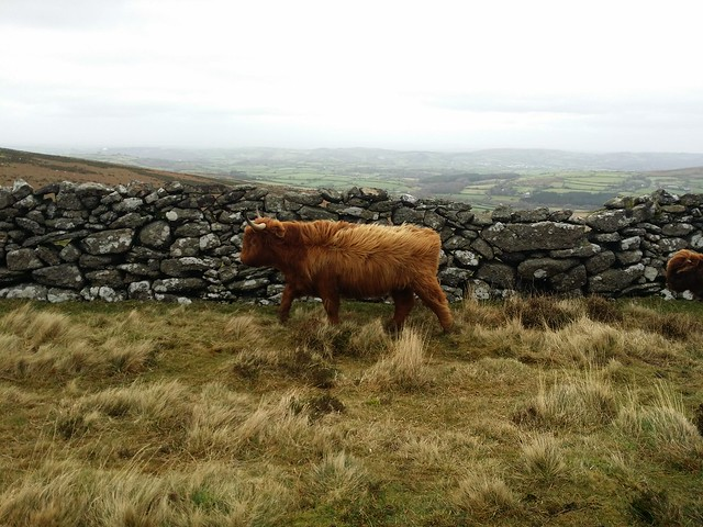 Highland Cattle near Hookney Tor