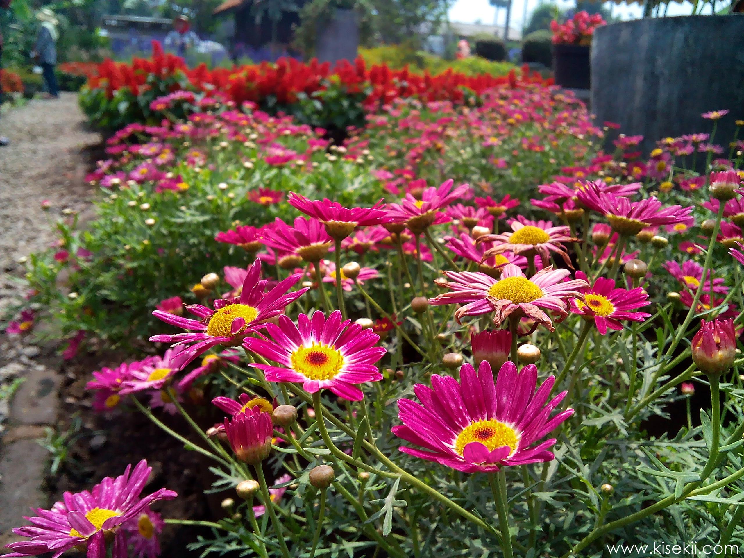 kebun-bunga-begonia-4