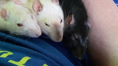 Fluffy, Sammy en Silky van fam Lamers