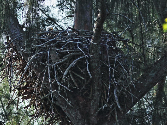 Bald Eagle incubating 20151221