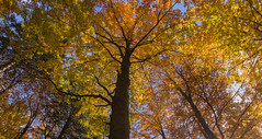Beech forest at autumn