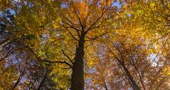 Beech forest at autumn