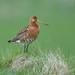 Bar-tailed-godwit by Corey Hayes