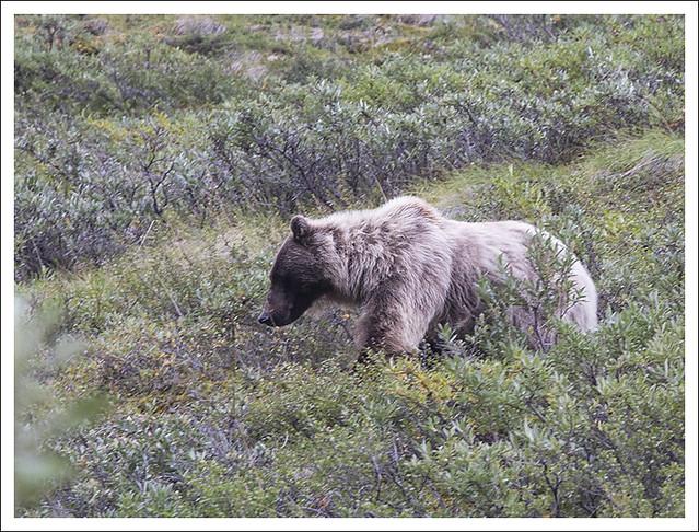 Denali 2015-08-12 4 (Bear)