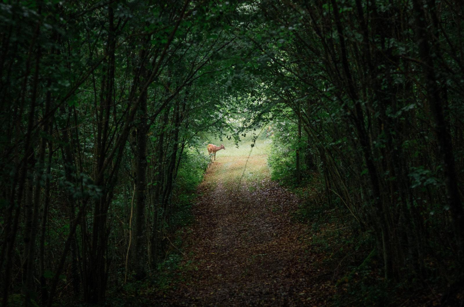 Observer les animaux - Forêt d'Auberive - L'apparition