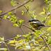 IMG_7213  Magnolia Warbler