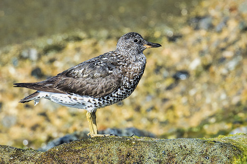Playa del Rey: Surfbird