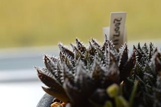 DSC_0797 Haworthia hyb. tenera x major テネラマジョール