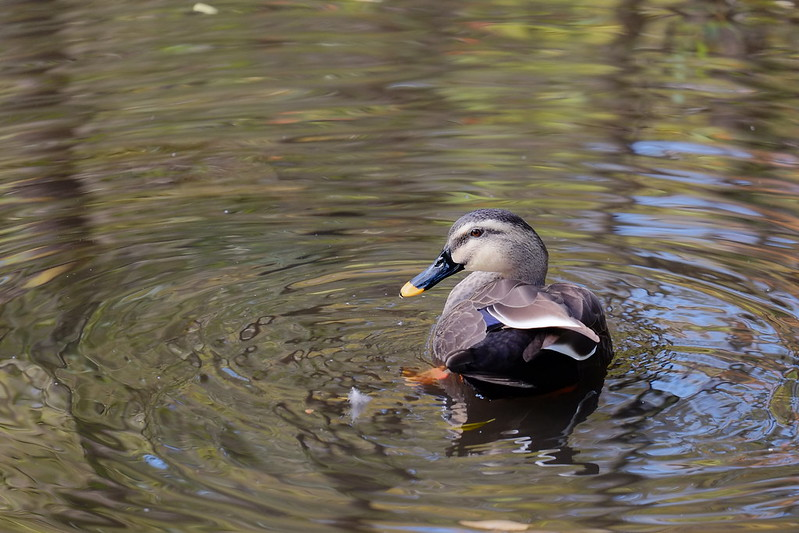 a duck swimming on rippled water