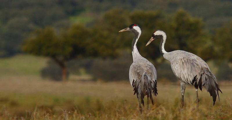Grou-comum | Common Crane (Grus grus)