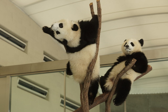 1-year-old Ouhin (桜浜) and Touhin (桃浜) 2015-12-11