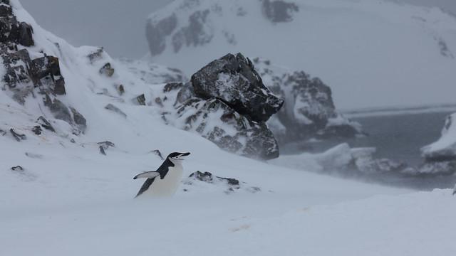 Chinstrap Penguin, Half Moon Island