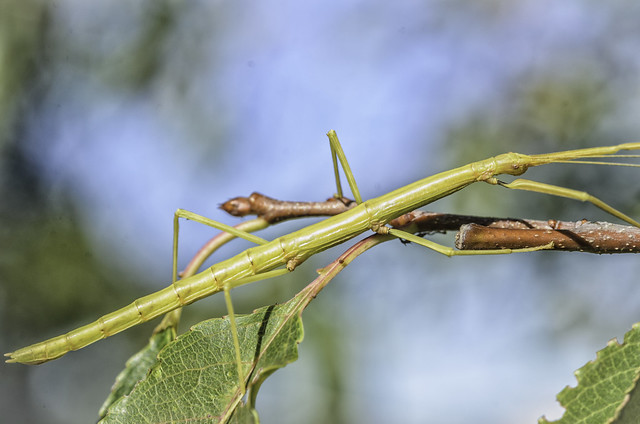 Northern Walkingstick (Diapheromera femorata)