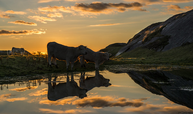 Sunset cows - D8E_6144