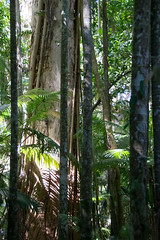 trunk of weeping paperbark Melaleuca leucadendra