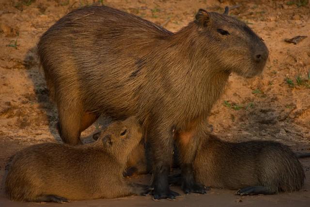 Capybara With Babies, Nikon D5200, AF-S DX Nikkor 18-300mm f/3.5-6.3G ED VR