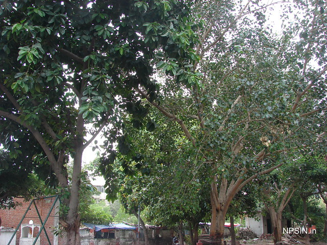 Banyan( वट वृक्ष, बरगद) Tree and Large Peepal Tree in temple park area