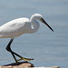 Little Egret bent forward by Ted Humphreys Nature