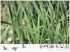 褐頭鷦鶯-02